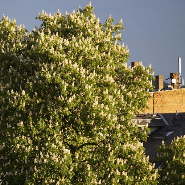 Inmitten von Häusern blüht eine mächtige Kastanie