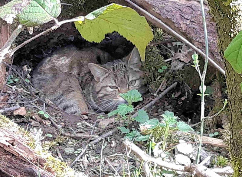 Eine junge Wildkatze schaut aus ihrem Versteck