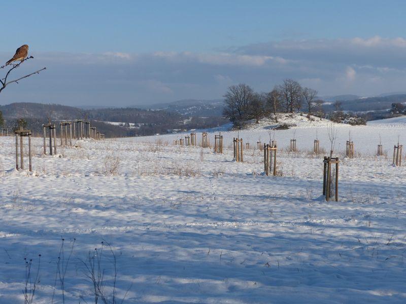 Eine neu angelegte Streuobstwiese im Winterschnee